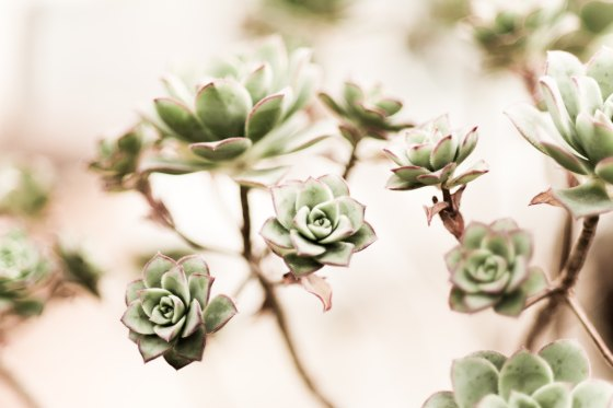 Little succulent blooms
