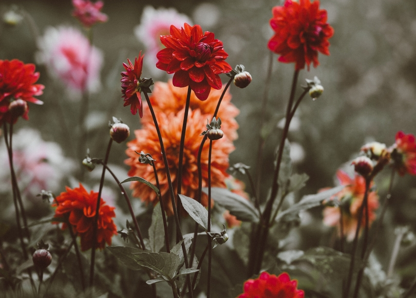 Red, orange, and pink flowers